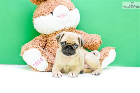 pugs for sale in columbus ohio norm pug puppy for sale near columbus ohio 889dc812 fdd1