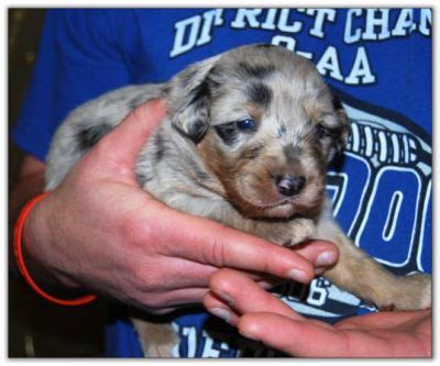 puppies for sale in vancouver wa miniature aussie breeders in culpeper va breeds picture