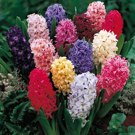 fiore flowers hyacinth flower