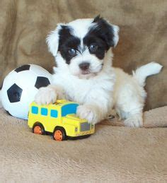 havanese puppies for sale in iowa related keywords suggestions for havanese puppies sale iowa
