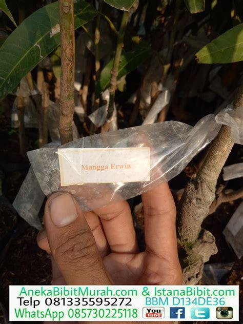 Bibit Mangga Irwin Di Bekasi jual bibit mangga irwin harga terjangkau jual bibit