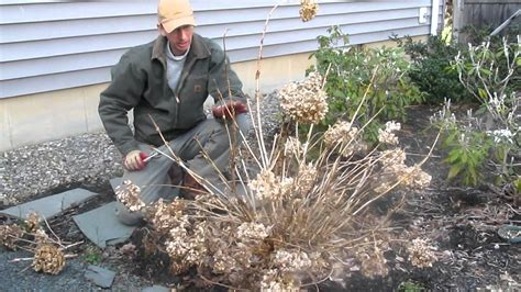 pruning endless summer hydrangea in the spring by landscapeconsultation com youtube