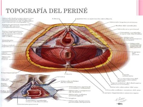 el perine femenino y perin 233 femenino