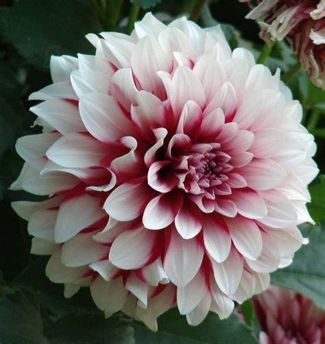 photos of colombia flowers dahlia blooming blossoms chasing the stars
