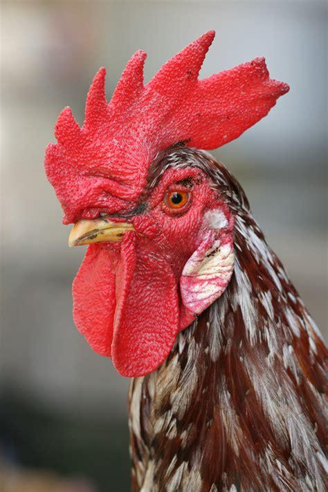 file rooster portrait2 jpg wikipedia