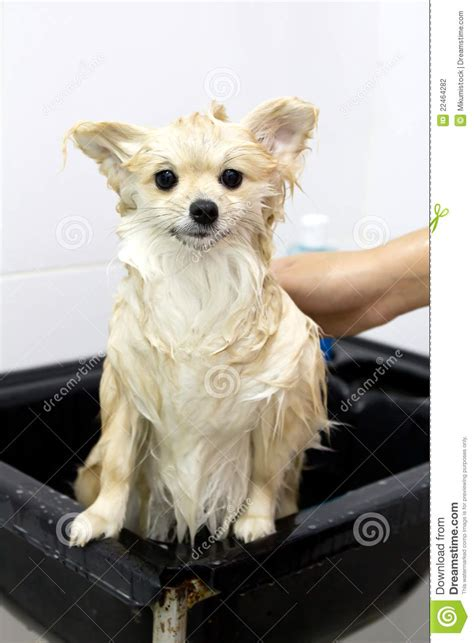 how to bathe a pomeranian pomeranian puppy shower stock photography image 22464282