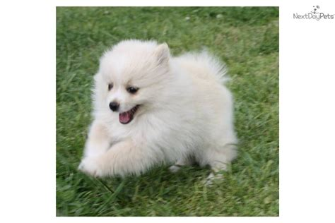 white pomeranian puppies for sale in oklahoma pomeranian puppy for sale near oklahoma city oklahoma bdabf17c 8c11