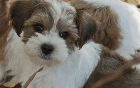 rescue havanese dogs pin by susan dunsten on havanese rescue