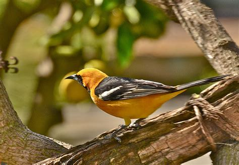 hooded oriole flickr photo sharing