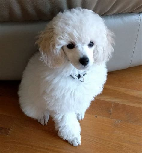 poodle puppy haircuts best 25 poodle puppies ideas on maltipoo poodles and