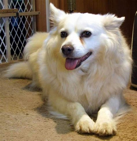 american breeds black american eskimo breeds picture