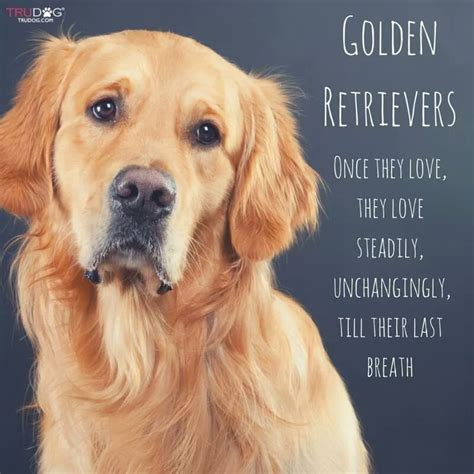 are golden retrievers loyal 25 best ideas about golden retrievers on golden golden retriever