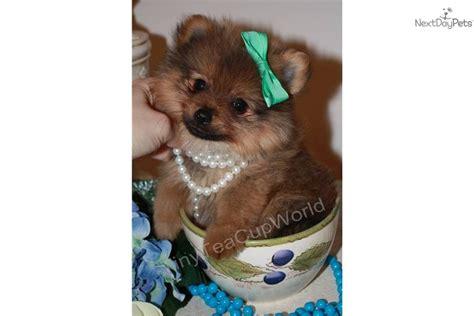 pocket pomeranian price pomeranian puppy for sale near arizona 6d1dfbfb b2a1