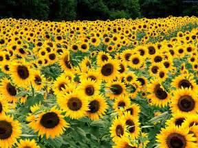 sunflower fields sun flower pictures beautiful flowers