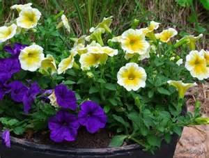 yellow petunias sherry s place