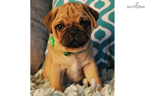 pug puppies for sale orange county mr wrinkles pug puppy for sale near orange county california e9da4c5d c721