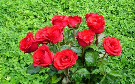gambar mawar merah jenis tanaman terbaru