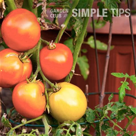 Patio Tomatoes Care by Tomato Care From The Ground Up Garden Club