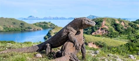 excited  meet   dragons  komodo island learn