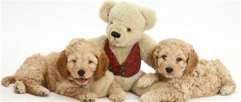 pictures of teddy dogs teddy breed images pets world
