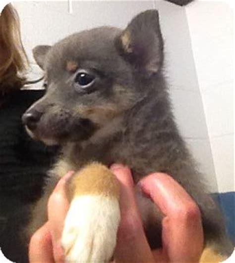pomeranian puppies richmond va chihuahua pomeranian mix puppy for adoption in richmond virginia flopsy
