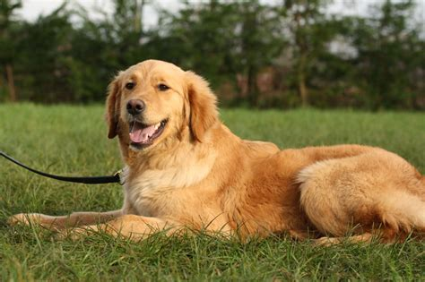 fully trained golden retriever for sale stella wkd trained golden retriever ready now staffordshire pets4homes