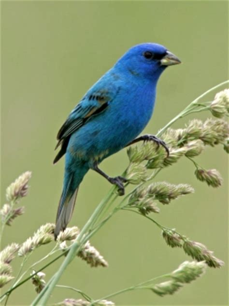 birds of st charles county mo indigo bunting