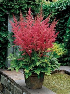 astilbe perennial or container plant zone 4 part to full shade h 2 4 w 2 4 moisture loving