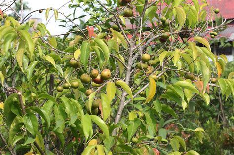tanaman plum dataran rendah jual bibit tanaman  buah