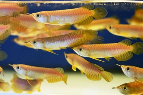 Harga Bibit Ikan Arwana Golden cara pengembang biakan ikan arwana atau budidaya ikan