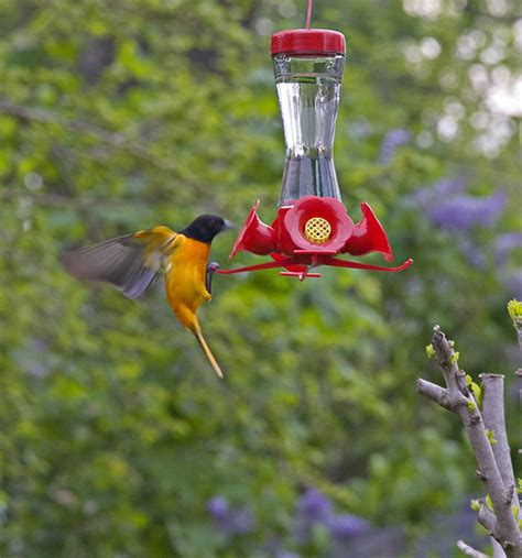 oriole feeder placement images