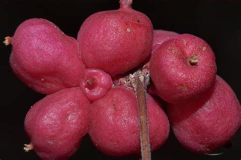 fruit similar to pink fruit related keywords pink fruit long tail
