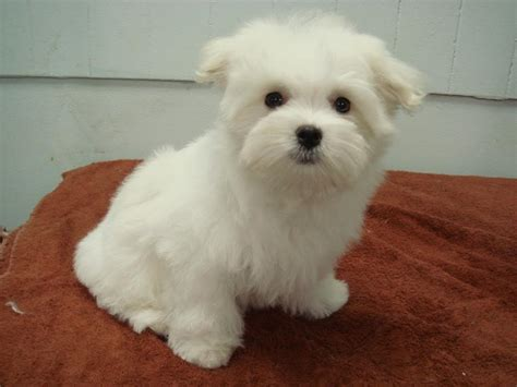 the puppy cut puppy cut on maltese puppy photo by yoshizumi photobucket