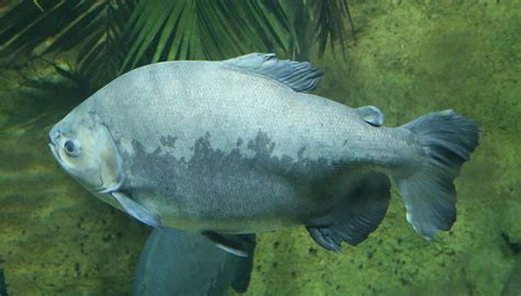 file schwarzer pacu colossoma macropomum tierpark hellabrunn 1 jpg wikimedia commons