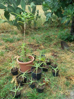 aloe arborescens coltivazione in vaso aloe vera e aloe arborescens usi e coltivazione di una
