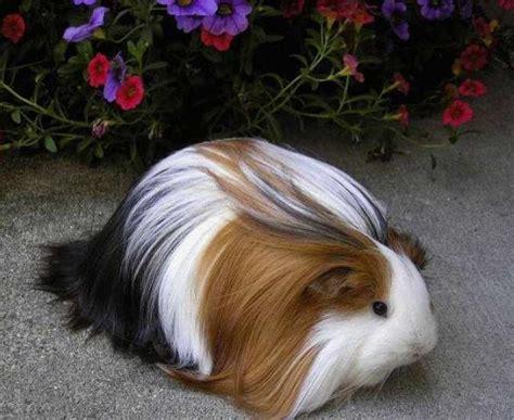 guinea pig colors tri color guinea pig animals