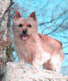 puppies for sale in harrisonburg va cairn terrier puppies for sale in virginia breeds picture