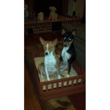 basenji puppies for sale near me andrea basenji breeder in bowie maryland