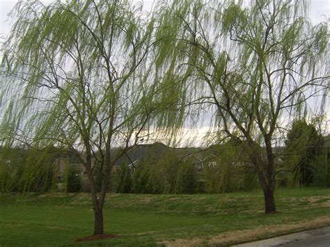 of willow willow tree images search