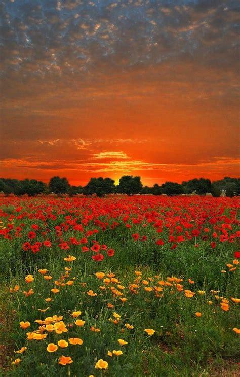 le de sol 3708 17 best images about golden poppies on rowan