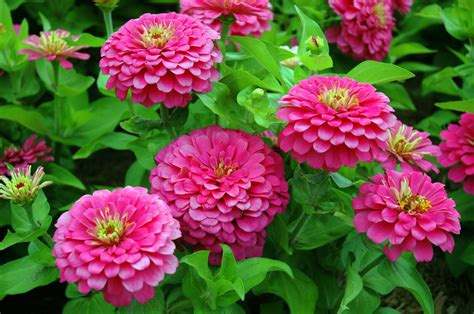 fiore flowers growing zinnia plants tips on how to plant zinnias