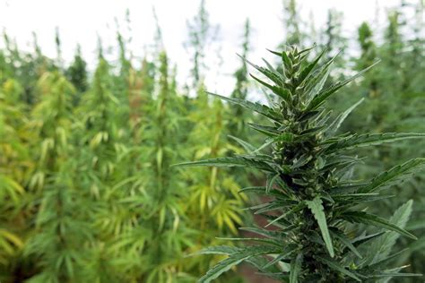 Home Plans For Florida by Usda Back Peddles On Promise Of Organic Hemp Certification