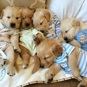 golden retriever puppy pajamas golden retriever puppies pets retriever puppies animal and