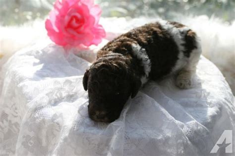 standard parti poodle puppies for sale akc parti color standard poodle puppies for sale for sale in morehead kentucky