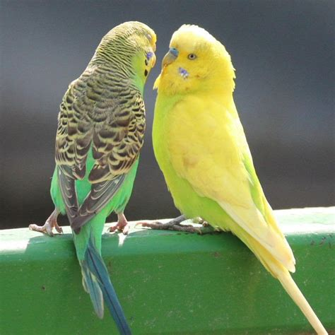 yellow budgie and green budgie are playing in captive