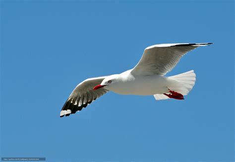 il gabbiano uccello scaricare gli sfondi gabbiano uccello ali corsa sfondi