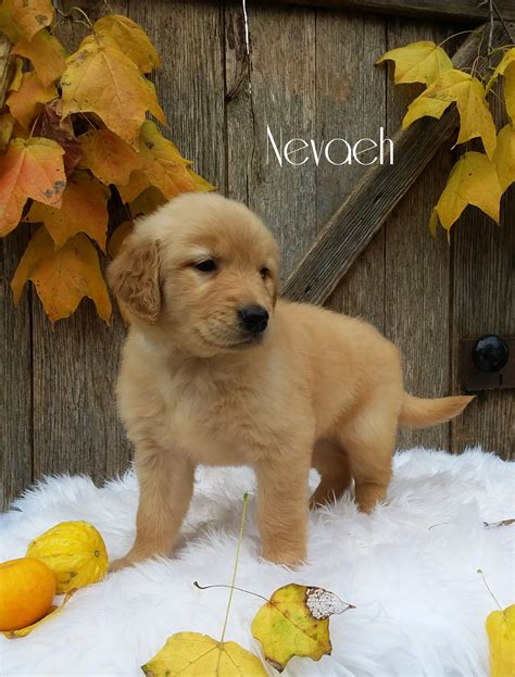 lancaster puppies golden retrievers pictures of golden retriever puppies www pixshark images galleries with a bite