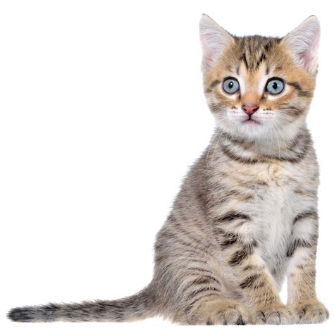 shorthair cat fascinating facts about domestic shorthair cats