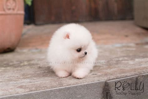 teacup pomeranian price in usa pomeranian rolly teacup puppies