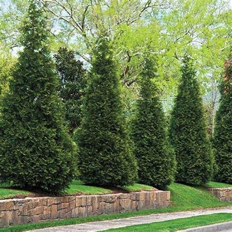 Arborvitae Patio Green Arborvitae Exterior Hedges